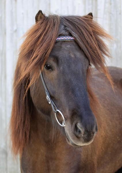 Kopfstück Island Pferd.jpg